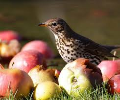 🍎🍏 Thrushes love apples so leave some... - Berks, Bucks and Oxon Wildlife  Trust - BBOWT | Facebook